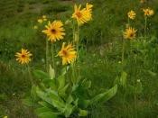 Арника горная (трава), 30 гр