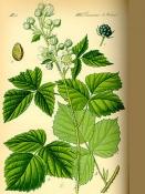 Ежевика (лист), 50 гр