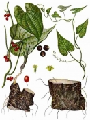 Адамов корень, 50 гр