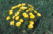 Адонис (Горицвет весенний), 50 гр