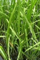 Аир болотный (корень), 50 гр