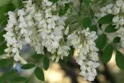 Акация белая (цветки), 50