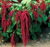 Амарант (цветки), 50 гр