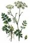 Анис (семена), 25 гр