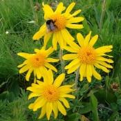 Арника горная (цветы), 25 гр