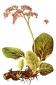 Бадан (корень), 50 гр