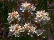 Багульник болотный (трава), 50 гр
