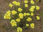 Бессмертник (трава), 40 гр