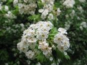 Боярышник (цветы), 30 гр