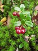 Брусника (лист), 50 гр