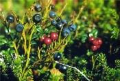 Черника (плоды), 25 гр