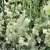 Донник белый (трава), 50 гр.