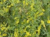 Донник жёлтый (трава), 50 гр
