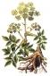 Дягиль (корень), 50 гр