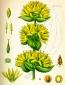 Горечавка (трава), 20 гр