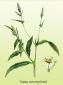 Горец почечуйный (трава), 25 гр