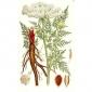 Горичник Моррисона (трава и корень), 25 гр