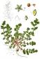 Грыжник (трава), 30 гр
