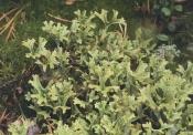 Исландский мох, 50 гр