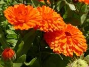 Календула (цветки), 50 гр