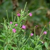 Кипрей мелкоцветковый, 50 гр