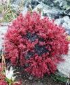 Красная щетка (корень), 50 гр