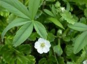 Лапчатка белая (трава), 50 гр