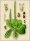 Подорожник (семена), 50 гр