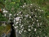 Саган-Дайля (Рододендрон Адамса), 10 гр