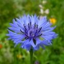Василёк (цветы), 25 гр