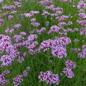 Вербена лекарственная (трава), 50 гр