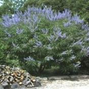 Витекс священный (семена), 10 гр