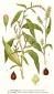 Водяной перец (трава), 25 гр