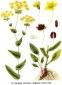 Володушка золотистая (трава), 50 гр