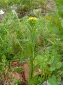 Желтушник серый (трава), 30 гр